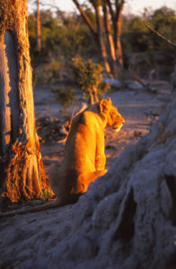 Lioness illuminated gold by a setting sun in Africa